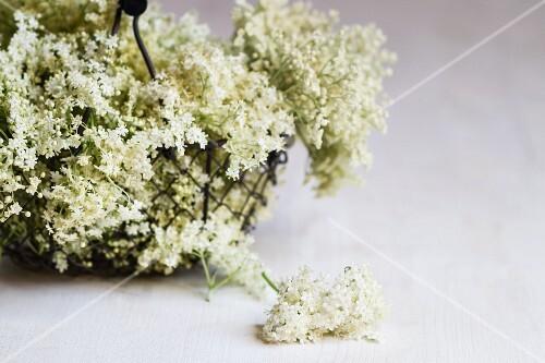 A wire basket of elderflowers
