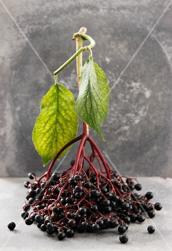 A bunch of elderberries with leaves