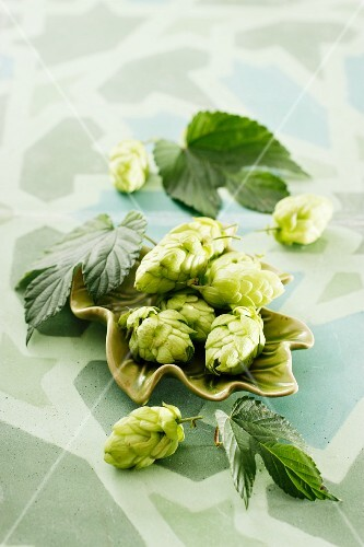 Hops flowers with leaves in a green dish
