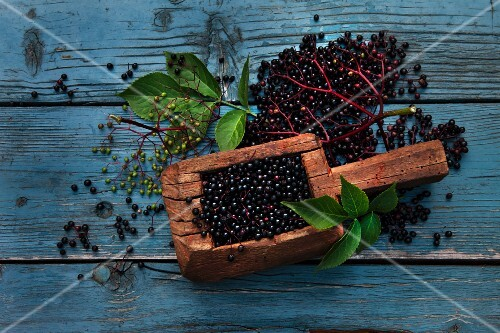 Elderberries in a wooden scoop, in bunches, and individually, with leaves on a weathered wooden surface
