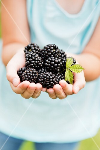 A child's hands holding fresh blackberries