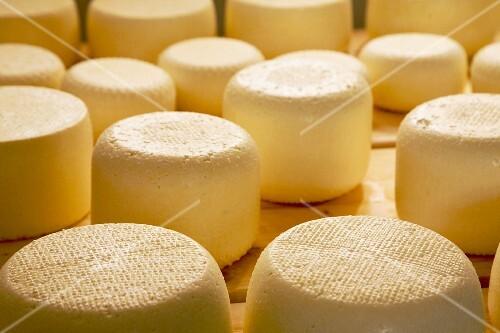 Caciotta cheese, Tomaselli dairy, Strigno, Valsugana, Trentino Alto Adige, Italy, Europe