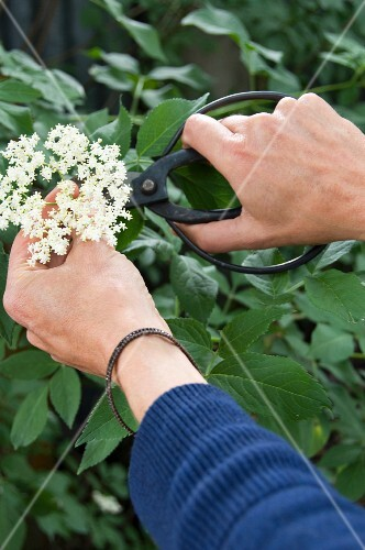 Cutting a spray of elderflowers