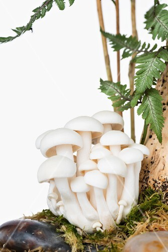 White buna-shimeji mushrooms on a tree trunk
