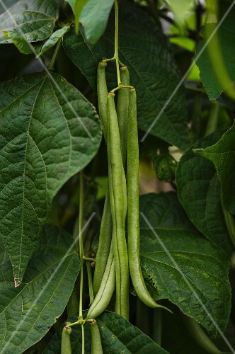 French beans on the plant