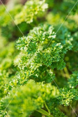 Parsley (Petroselinum Crispum Crispum) growing in garden