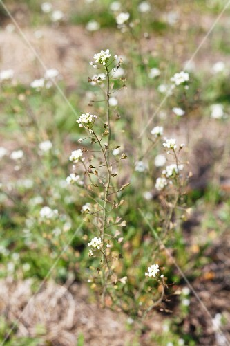 Capsella (Capsella bursa pastoris)