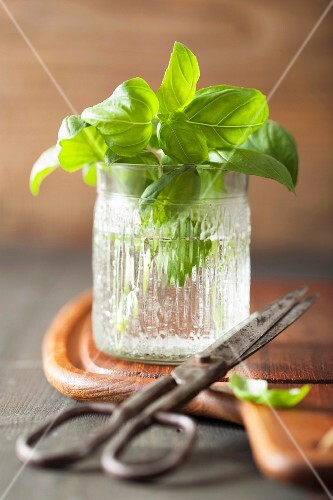 Sprigs of fresh basil in a glass of water