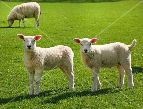 Lambs in pasture