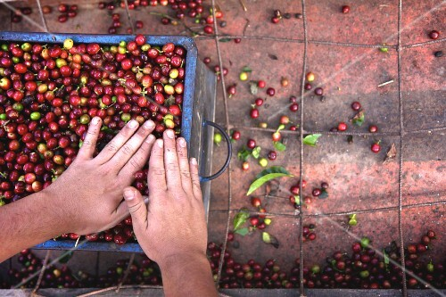 Coffee cherries being prepared for processing