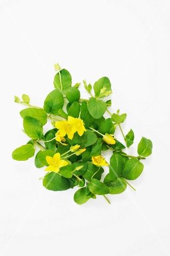 Fresh moneywort with flowers