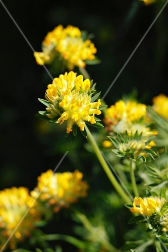Kidney vetch with flowers