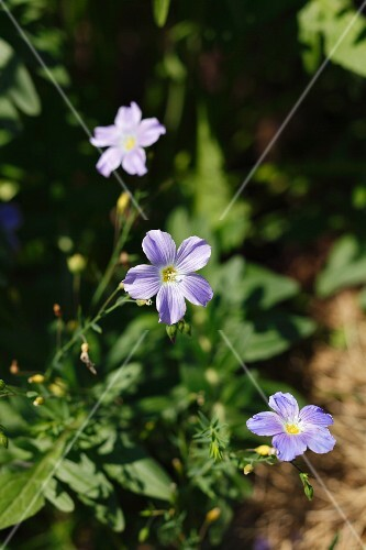 Flax flowers in the garden