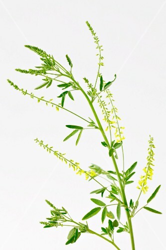 Yellow melilot with flowers