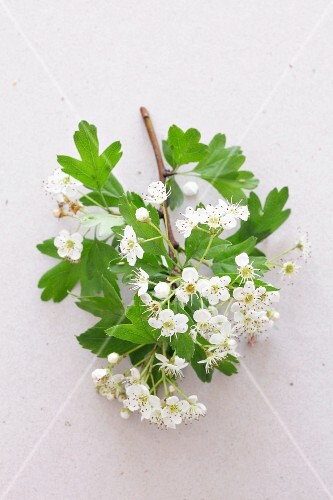Sprig of hawthorn with flowers