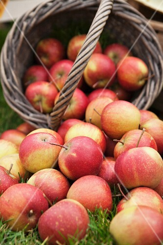 Freshly harvested apples in a basket and in the grass