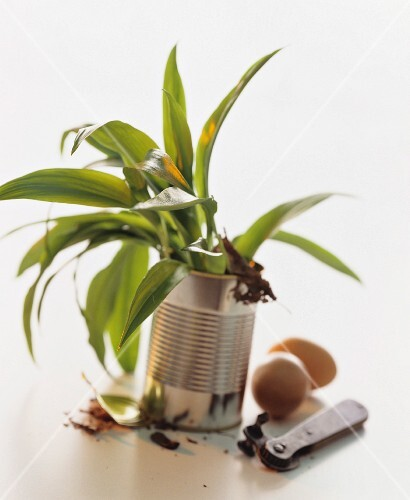 A still life featuring fresh leaves of wild garlic in a tin