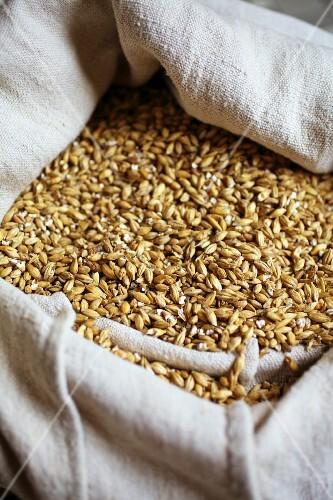 Malted barley for making beer