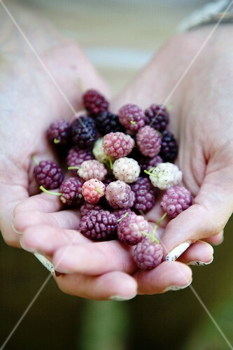 Hands holding mulberries