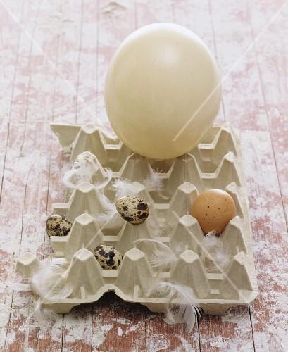 Quail's eggs, a hen's egg and an ostrich egg in an eggbox