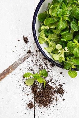 Lamb's lettuce in a bowl, next to it soil and a knife