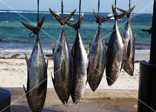 Fresh caught ahi tuna hanging up on the beach