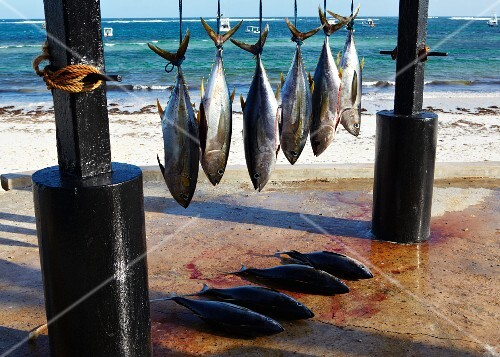 Freshly caught yellowfin tuna hanging up at the beach