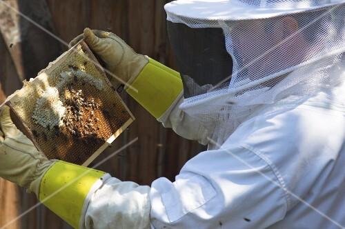 A beekeeper checking the honeycomb