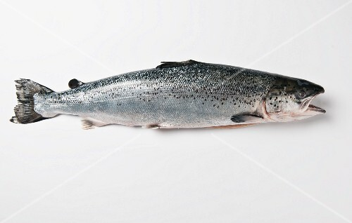A trout against a white background