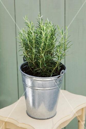 A pot of rosemary in a zinc bucket