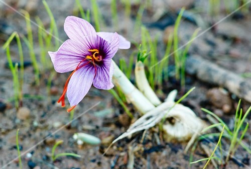 A saffron crocus growing in the earth