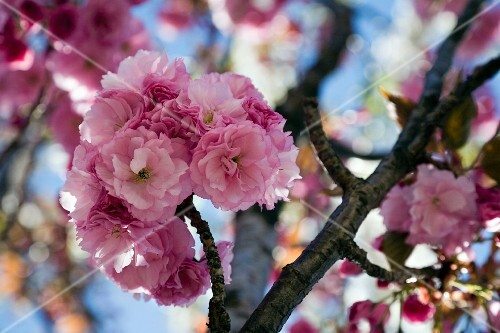 Cherry blossom on the tree