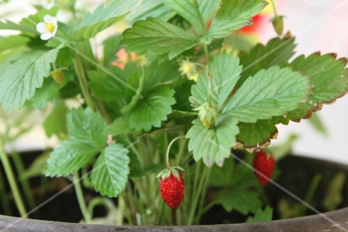 Forest strawberry plants with fruits in a flower pot