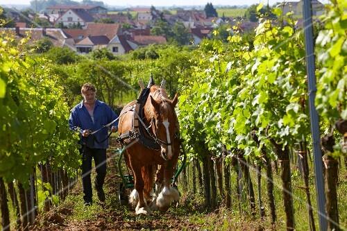 Markus Rau disking the soil in the biodynamic Kirchenstück vineyard of Dr Bürklin Wolf at Forst an der Weinstrasse, Pfalz, Germany