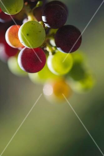 Véraison of Merlot grapes. Bordeaux, France.
