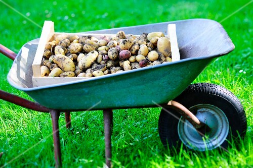 A wooden crate of freshly picked potatoes in a wheelbarrow in a field