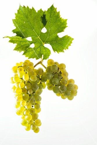 Müller Thurgau, Riesling Silvaner grapes with a vine leaf