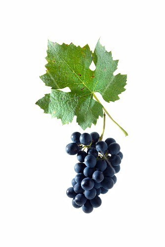 Garanoir grapes with a vine leaf, Swiss breed made by crossing Gamay and Reichensteiner grapes