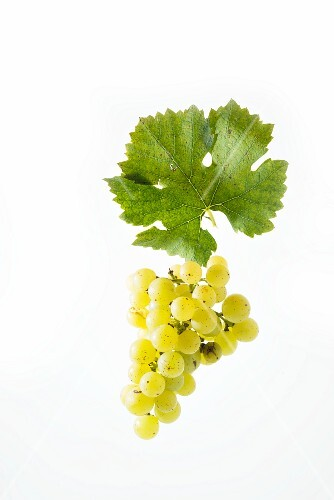 Muscat Olivier grapes with a vine leaf