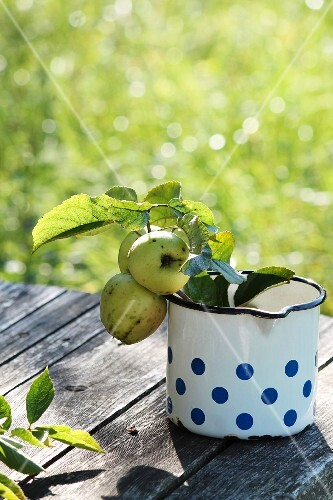 Green apples with leaves in an old enamel pot