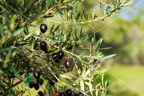 Black olives on the tree