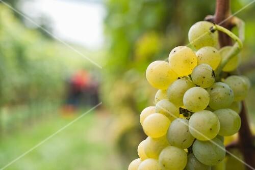 Riesling Silvaner, Müller Thurgau grapes on a vine, harvest at Brestenberg