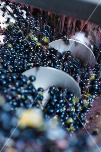 Red wine grapes falling into a screw channel after destemming
