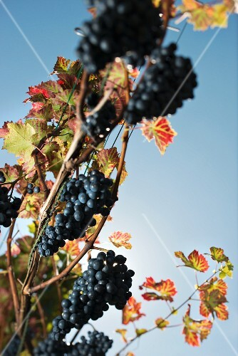 Cabernet Cortis, red fungi-resistant grapes on a vine against a blue sky