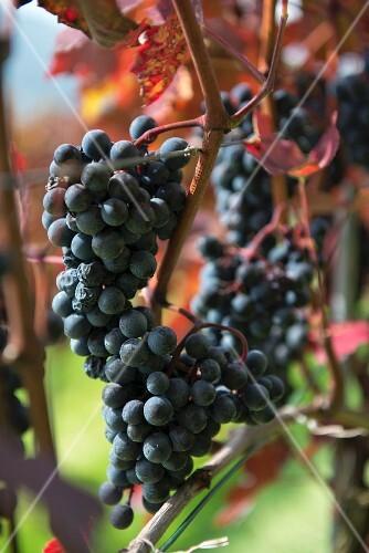 Teinturier grapes on a vine