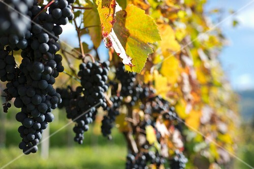 Ripe pinot noir grapes on a vine