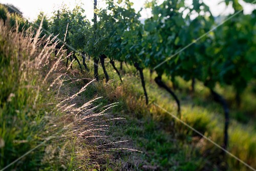 Summer in a vineyard (selective focus), Fricktal