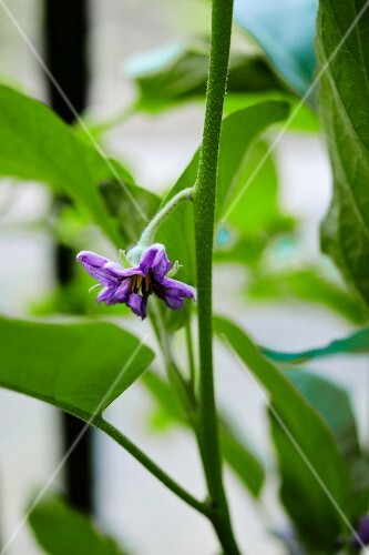A green plant with a purple flower