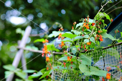 Flowering bean plants in a garden