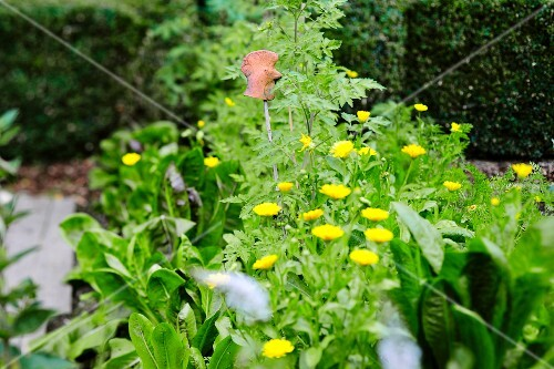 Leafy vegetables and yellow flowers in a garden